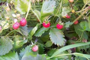 Wilde Erdbeeren.