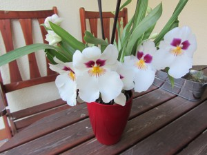 orchidee 005