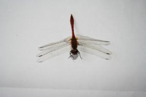 Libelle 043